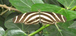 Zebrafalter - Falter, Schmetterling, Zebrafalter, Edelfalter, Tagfalter, gestreift, Streifen
