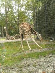 Junge Giraffe - Wildtier, Zootier, groß, Paarhufer, Wiederkäuer, Pflanzenfresser, Afrika, Savanne, Gehege, Giraffe, Netzgiraffe, Afrika, Paarhufer, Tarnung, Camouflage