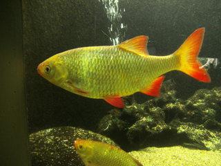 Rotfeder - Rotfeder, Unechtes Rotauge, Rötel, Rotblei, Karpfen, Schwarmfisch, Weißfisch