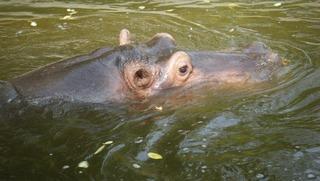 Flusspferd im Wasser - Flusspferd, Nilpferd, Hippo, Hippopotamus amphibius, Säugetier, Vegetarier, Pflanzenfresser, Afrika, Paarhufer, schwer, gefährlich