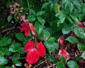 Ansicht des Herbstes - Laub, Blatt, Blätter, Herbst, Jahreszeit, Regen, nass, Kontrast, rot, grün, Wald, Ansicht, Brombeerlaub, Brombeere, Strauch