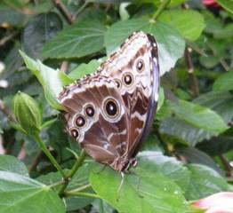 Bananenfalter - Bananenfalter, Edelfalter, Augenfalter, Schmetterling