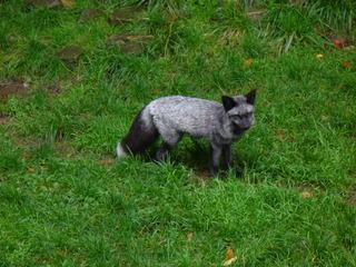 Silberfuchs - Tierpark, Zoo, Wald, Wiese, Fuchs, Silberfuchs, Raubtier, jagen, Säugetier, Fell, Pelz, Fuchsschwanz, grau