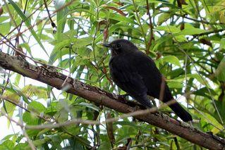 schwarzgefiederter Vogel - Vogel, schwarz, fliegen, sitzen, Federn, Gefieder