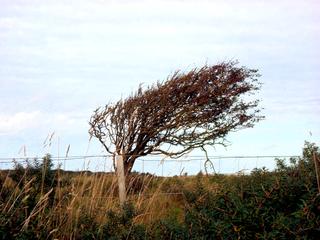 Windflüchter - Windflüchter, Windlooper, Windläufer, Windharfe, Wuchs, Wetterseite, Wind, Wetter, Baum, Natur, Küste, Form, schief