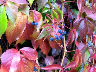 Selbstkletternde Jungfernrebe, wilder Wein #1 - Kletterpflanze, Selbstkletternde Jungfernrebe, wilder Wein, wild, Wein, Herbst, Laub, bunt, Herbstlaub, Beeren, rot, Beeren, blau, Herbstfarben, Weinrebe, Gewächs