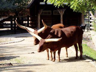 Watussi Rinder im Gehege - Watussi, Gehege, Zoo, Wildtier, zwei, Wiederkäuer, Hornträger, Paarhufer, Rind, Rinder