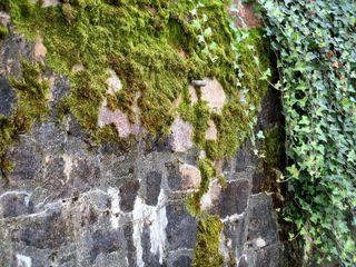 Mauer mit Moos und Efeu - Pflanze, bewachsen, berankt, wachsen, Moos, Moose, Efeu, Mauer, grün, Pflanzen
