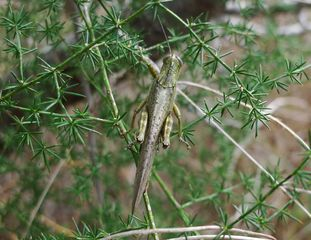 Heuschrecke #1 - Insekten, Heuschrecke, Mimikry, Tarnung, Tarnfarbe, Grashüpfer, hüpfen