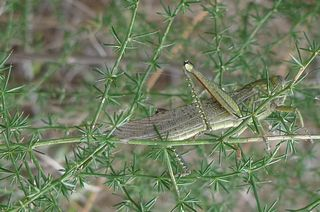 Heuschrecke #2 - Insekten, Heuschrecke, Mimikry, Tarnung, Tarnfarbe, Grashüpfer, hüpfen