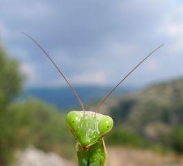 Gottesanbeterin #01 - Gottesanbeterin, Fangschrecke, Insekten, Tracheentiere, Fluginsekt, Mantis religiosa