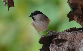 Sumpfmeise - Vogel, Nonnenmeise, Poecile palustris, Sperlingsvogel, Singvogel, Meisen, Meise