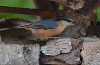 Kleiber - Sitta europaea, Sperlingsvogel, Singvogel, Sitta, Vogel