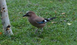 Eichelhäher - Eichelhäher, Garrulus glandarius, Singvogel, Sperlingsvogel, Rabenvogel, Corridae, Vogel