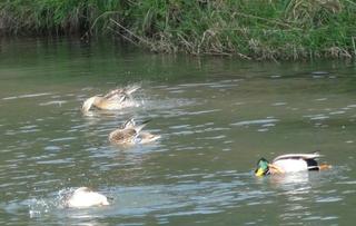Enten 1 - Enten, Teich, putzen, schwimmen, Gefieder, reinigen, Ufer, Wasser