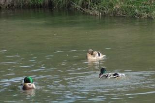 Enten 2 - Enten, Teich, putzen, schwimmen, Gefieder, reinigen, Ufer, Wasser, Schnabel