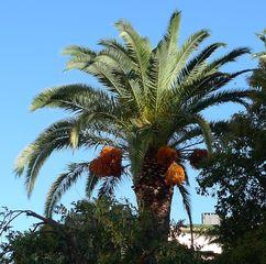 Dattelpalme mit Früchten - Palme, Dattelpalme, Sizilien, Pflanze, Palmengewächs, Früchte, Fruchtstand, Palmwedel, Datteln