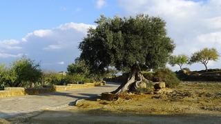 Ölbaum # 1 - Echter Ölbaum, Olea europaea, Nutzpflanze, immergrün, Stamm, Ölbaum, Olivenbaum, Sizilien, knorrig, krumm