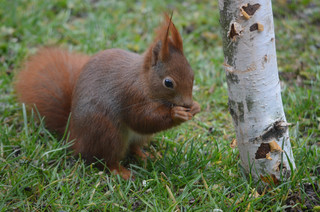 Eichhörnchen #2 - Eichhörnchen, Hörnchen, Sciurus vulgaris, Eichkätzchen, Eichkater, Nagetier, Katteker, Baumbewohner, Einzelgänger, Allesfresser, fressen, tagaktiv