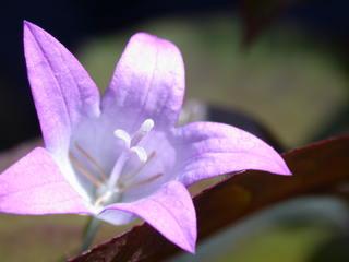 Glockenblume blau - Biologie, Pflanzen, Blüten, Glockenblume, Staubgefäße, rosa