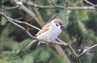 Feldsperling - Vogel, Singvogel, Sperlingsvogel, Sperling, Passer montanus, Winter, Frost, Hunger