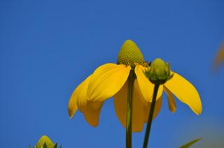 gelbe Blume vor blauem Himmel - gelb, blau, Blume, Himmel, Farbkontraste, Farbenlehre, Komplementärfarben