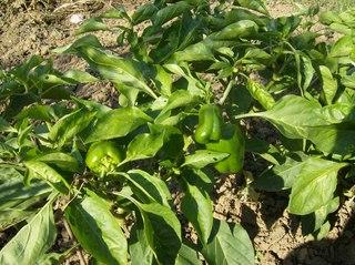 Paprikapflanze im Garten - Paprika, Paprikapflanze, Garten, Nachtschattengewächs, Dreifurchenpollen-Zweikeimblättrige Pflanze, Schote, Paprikaschote, grün