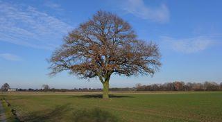Winterimpressionen #01 - Eiche, Baum, kahle Bäume, kahl, unbelaubt, Winter, Winterlandschaft, Landschaft, Kälte, sonnig, Einsamkeit, Ruhe, Stille, Schreibanlass, Meditation