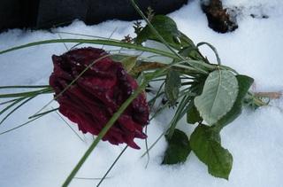 Rose im Schnee - Rose, Winter, Frost, Eis, Raureif, Reif, eisig, kalt, Schnee, gefroren