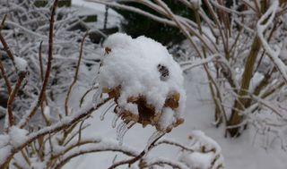 Hortensie - Hortensie, Eis, Eiszapfen, Tauwetter, Winter, gefrorenes Wasser, Tropfen, Aggregatzustand