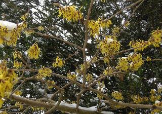 Zaubernuss #1 gelb - Zaubernuss, Hamamelis, Heilpflanze, Zierpflanze, Baum, Strauch, Blüte, Blüten, Blütenkronblätter, Winter, Frost, winterhart, frosthart, gelb