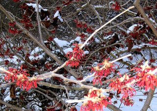 Zaubernuss #3 rot - Zaubernuss, Hamamelis, Heilpflanze, Zierpflanze, Baum, Strauch, Blüte, Blüten, Blütenkronblätter, Winter, Frost, winterhart, frosthart, rot