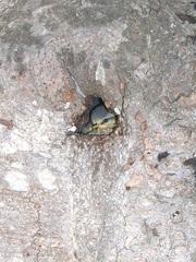 Nisthöhle #3 - Vogel, brüten, Nest, Nisthöhle, Kreidefelsen, Vogelnest, Jungvogel, Brut