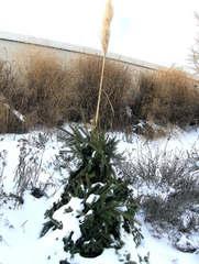 Frostschutz bei Pflanzen #3 - Pflanzen, Pflanze, Winter, Schutz, Frost, Frostschutz, Kälte, schützen, kalt, erfrieren, Schnee, Eis, Tanne, Zweige, Tannenzweige