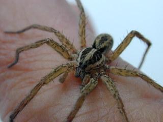 Kreuzspinne - Insekten, Spinnenarten, Kreuzspinne, Spinne, Halloween, krabbeln, haarig
