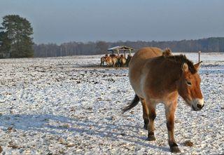 Przewalski-Pferd - Pferd, Pferde, Fütterung, Winter, Säugetier, wild, Equus ferus przewalskii, Takhi, Nutztier, Haustier, heimisch, Wildpferd, Przewalski-Wildpferd, Unpaarhufer, Wildform, Winter