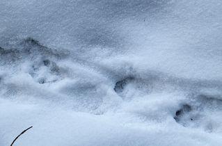 Fischotter Trittspur im Schnee - Fischotter, Spur, Trittspur, Abdruck, Pfotenabdruch, Fährte, Schnee, Trittsiegel