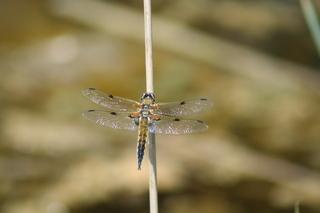 Libelle - Biologie, Insekten, Libelle, fliegen, Flügel