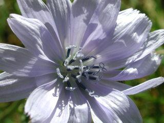Wegwarte - Wegwarte, Cichorium, Zichorien, Korbblütengewächse, Endivie, Blüte, blau, hellblau