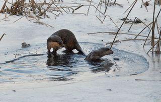 Fischotter am Teich - Fischotter, Otter, heimisch, Marder, Winter, Landraubtier, Säugetier, nass, neugierig, schwimmen, Schwimmer