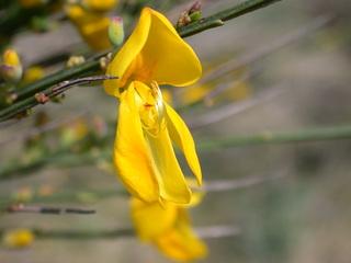 Ginster - Ginster, Schmetterlingsblütler, Genista, Blüte, gelb