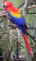 Ara auf Baum - Papagei, Ara, Vogel, rot, bunt, Anlaut P, Exot, exotisch
