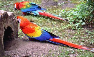 2 Papageien - Papagei, Ara, rot, bunt, zwei, Vogel, Vögel, Exot, exotisch, Anlaut p