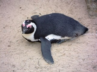 Pinguin im Sand - Pinguin, Zootier, Wassertier, Wasservogel, schwarz, weiß, Gefieder