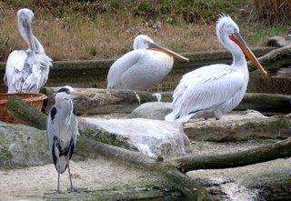 Pelikane und Graureiher - Pelikan, Graureiher, Fischreiher, Reiher, Wasservogel, Wasservögel, Schnabel, Federn, Gefieder, rechts, Schreibanlass
