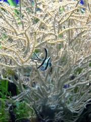 kleiner Fisch - Fisch, Koralle, Kontrast, Aquarium