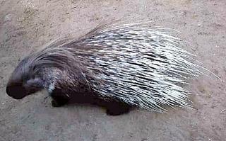 Stachelschwein - Stachelschwein, Tier, Nagetier, Säugetier, nagen, Stacheln, nachtaktiv, Borsten