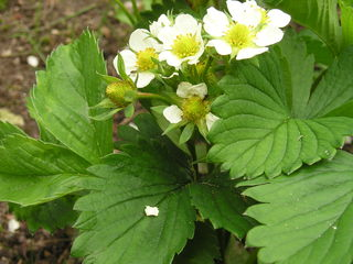 Erdbeerblüte - Erdbeere, Blütenpflanze, Blüte, Frucht, Sammelnussfrucht, fragaria ananassa