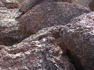 Eidechse  2 - Eidechse, Reptilien, Echsen, Lacerta, Lacertidae, Schuppenkriechtiere, Lava, Gallotia galloti eisentrauti, Tarnung, Teide, Teneriffa, Roques de Garcia