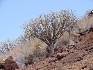 Trockenvegetation auf Teneriffa 6 - Busch, Strauch, Trockenvegetation, Teneriffa, San Andrés, Kakteen, Kaktus, Opuntien